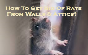 How To Get Rid Of Rats From Walls & Attics?